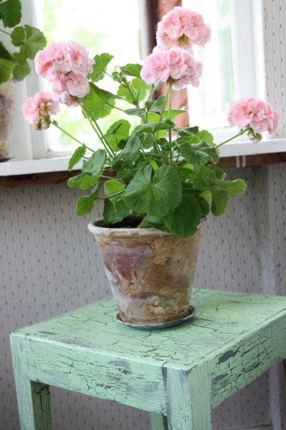 Il geranio, comunemente utilizzato per decorare terrazzi e balconi, può essere coltivato facilmente anche in casa