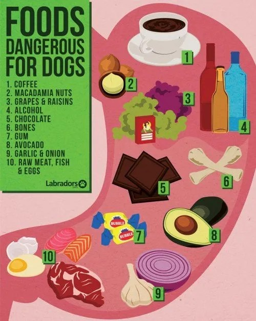 Foods Dangerous For Maltese Dogs