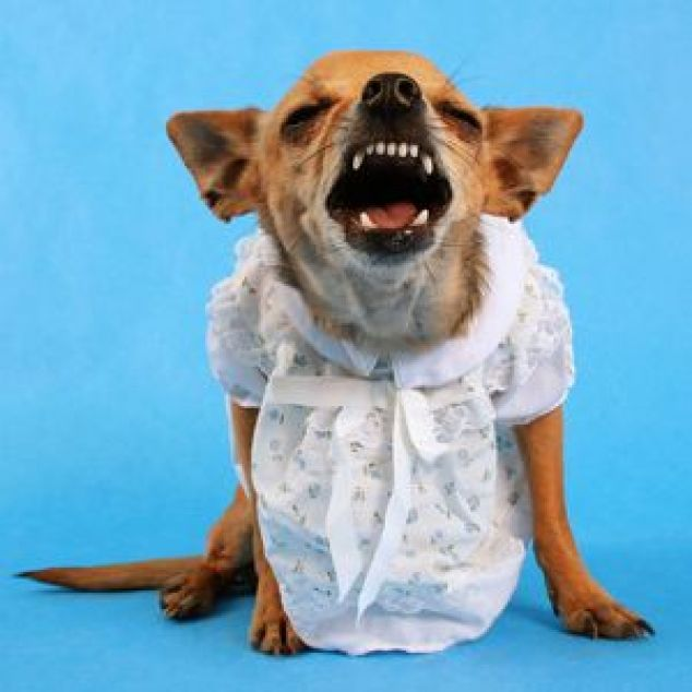 Angry dog in dress