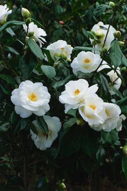 Camellia Sasanqua This is the Winter Bloomer I purchased. This flower blooms from Oct-Jan: