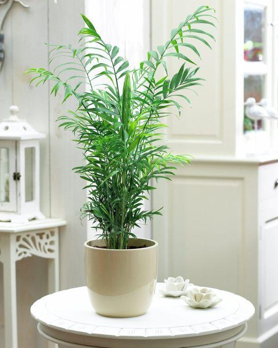 Chamaedorea elegans-plantas de interior-makeupdecor-blog-decoracion