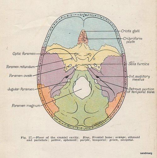 Floor Of The Skull Anatomy Wikizie