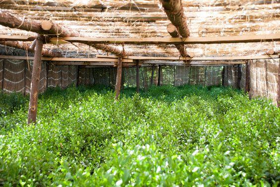 Straw shelf-type Gyokuro field