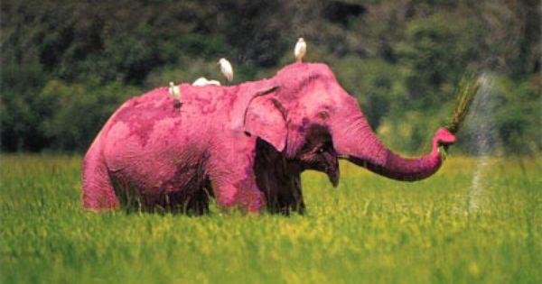 Albino Elephant Albino Animals Pinterest Pictures