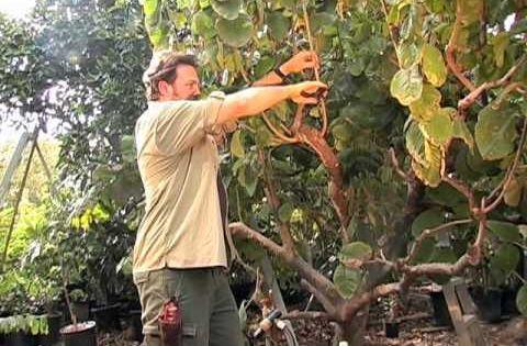 How To Prune A Cherimoya Tree Garden Pinterest Trees
