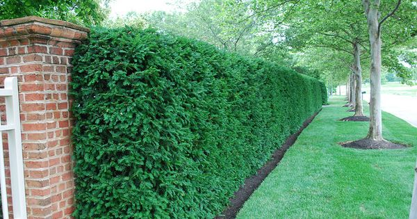 yew hedge front yards yards and screens on modern fence ideas highlighting your house with most shared privacy fence designs id=40724