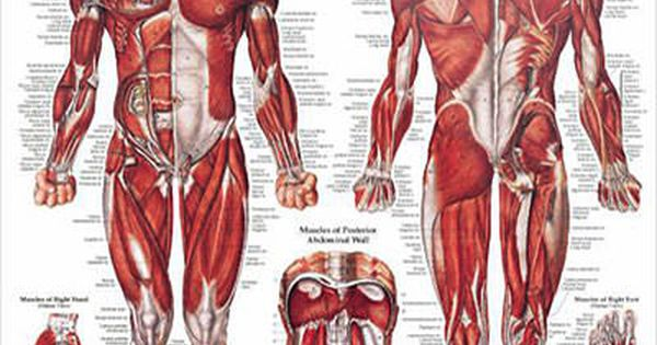 Muscular System: Male Anatomy Poster