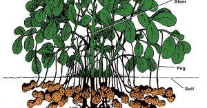 Peanut plant diagram | FASCINATINGNESS | Pinterest