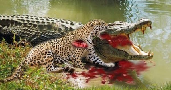 Most Amazing Wild Animal Attacks 6 Jaguar Vs Crocodile
