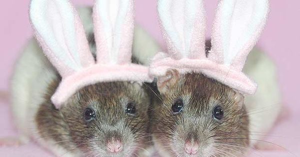Halloween Costumes Page 1 For Pet Rats and Pet Rat Care