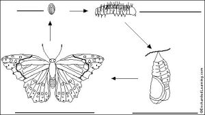 Label Butterfly Life Cycle Printout  EnchantedLearning