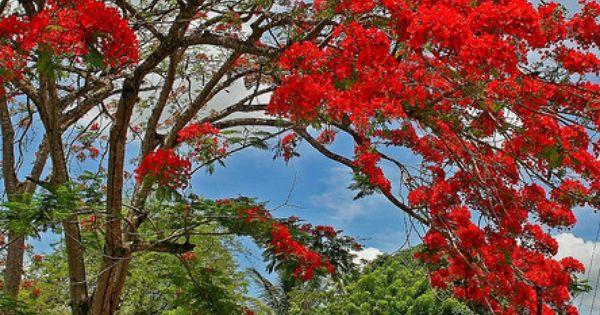 Red Jacaranda Tree Unique Amp Beautiful Jacaranda