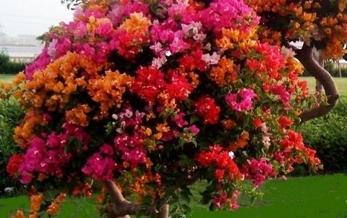 Bougainvillea Tree Zone 9 Amp Up Outside Year Roundzone 8 Amp Down Brought In For Winter A