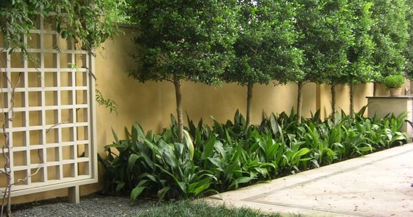 Savannah Holly Privacy Screen With Under Planting Garden