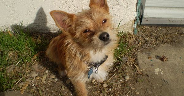 Cairn Terrier Chihuahua Mix Chihuahua DogsMixes