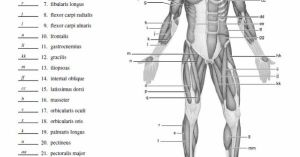 Blank Muscle Diagram to Label | SCHOOL STUDY | Pinterest