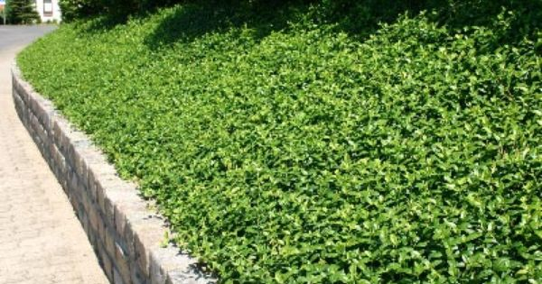 Vinca Minor Ground Cover For The Steep Slopes Yard Ideas