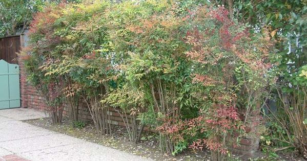 """Nandina Domestica """"Heavenly Bamboo"""" Left Side Planting For"""