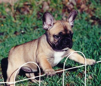 French Bulldogs Are Like A Mini Boxer Amp English Bulldog Mixed Perfect For My Little Dog Amp My