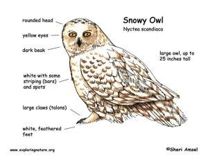 Snowy Owl Diagram | Outdoor Science School  Activities for in the Classroom | Pinterest | Body