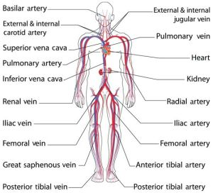 Anatomy and Function of the Common Iliac Artery With