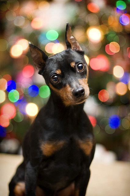Best 20 Min Pins Ideas On Pinterest Min Pin Dogs Min