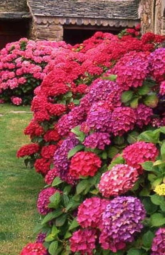 Hydrangeas -- Did you know changing aluminum in the soil changes the color of the hydrangea?: