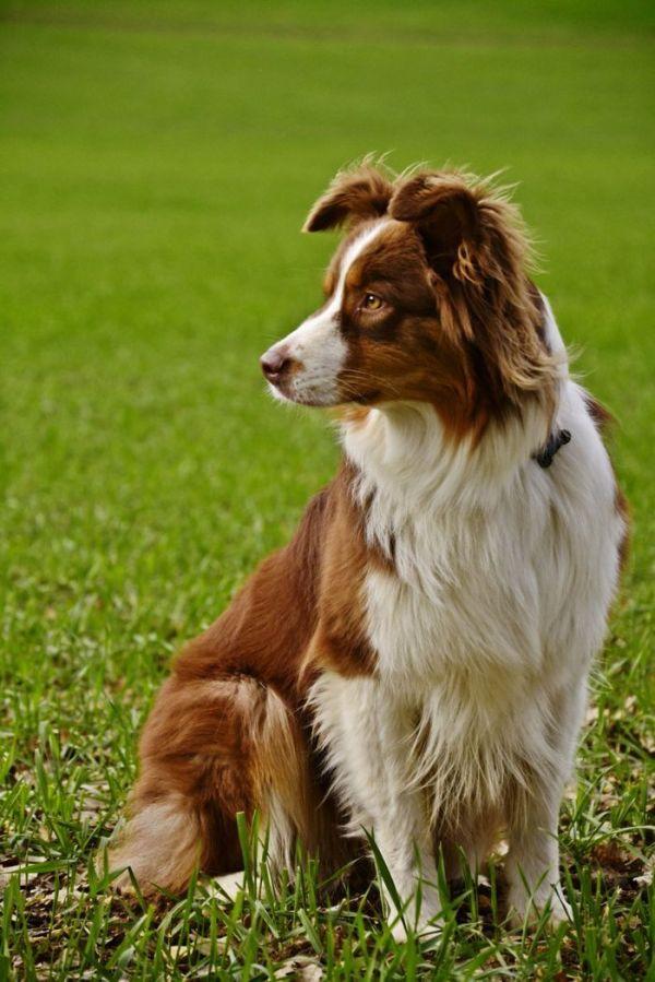 25 best ideas about Red Tri Australian Shepherd on