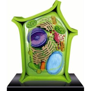 3D Plant Cell Model | 3D Cell Model Science Project | Pinterest | Models, Plant cell model and