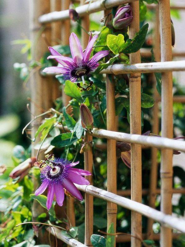 La Passiflora è una pianta originaria delle zone tropicali del sud America che comprende più di 400 specie