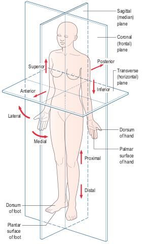 Anatomical position showing the cardinal planes and