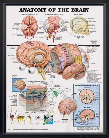 Anatomy of the Brain anatomy poster | A well, Brain ...
