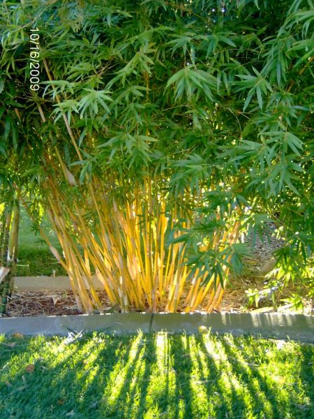 clumping bamboo garden 33 best images about Clumping Bamboo on Pinterest | Hedges