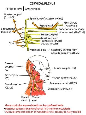 Instant Anatomy  Head and Neck  Nerves  Somatic nerves