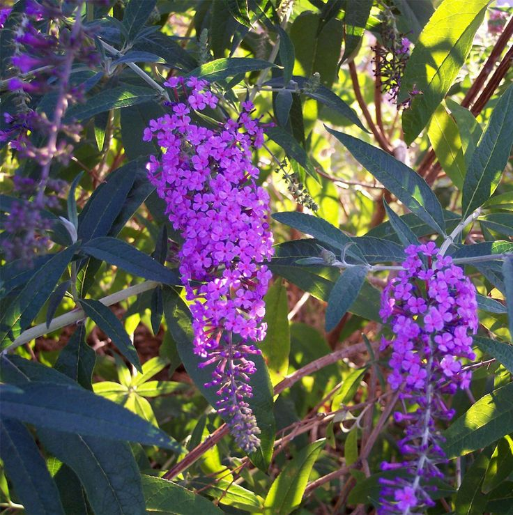 Grow a butterfly bush..Butterfly Bush is one of the easiest shrubs to grow. It is low maintenance, requiring little in the way of