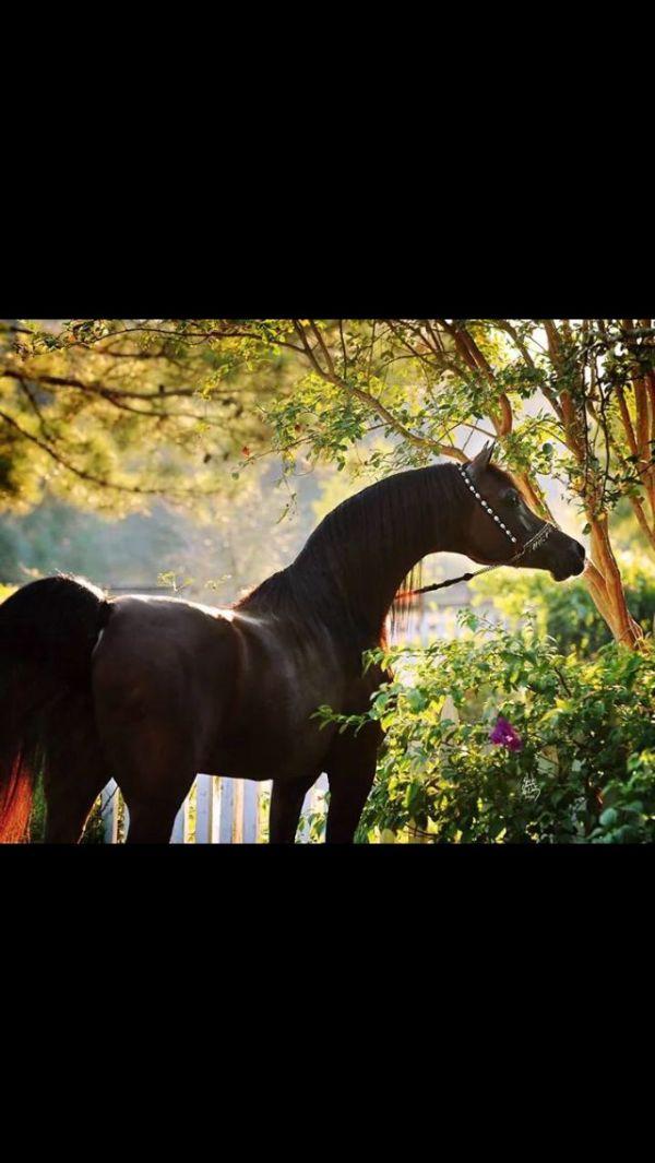 17 Best images about Arabian Horses Marwan Al Shaqab on