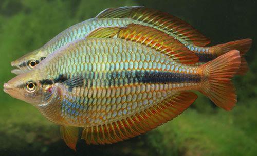 Female Australian Rainbow Fish