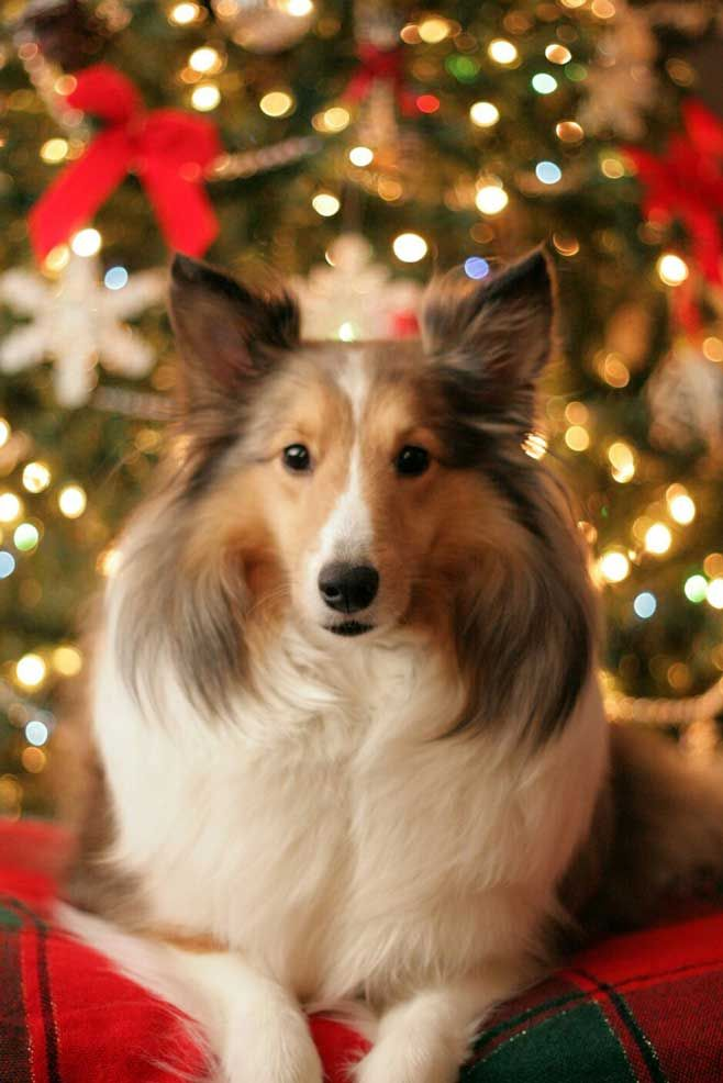 Best 20 Shetland Sheepdog Puppies Ideas On Pinterest