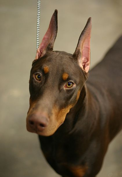 I Knew A Doby Like This Named Caesar He Was The Biggest