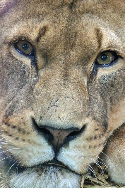 39 best images about My Patronus is a Lion on Pinterest
