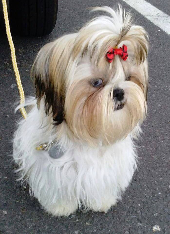 295 Best Images About Shih Tzus Are The Best Dogs Ever On