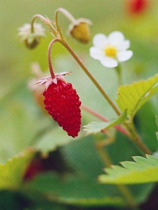 Il periodo ideale per la semina o la piantumazione delle piantine già avviate è la primavera
