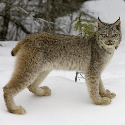 17 Best images about Lynxes on Pinterest | Canada, Mothers ...