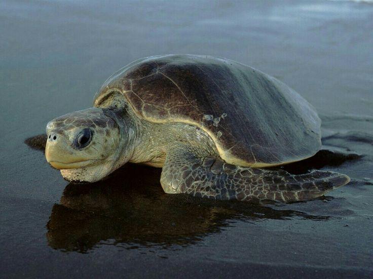 Best 20 Sea Turtle Images Ideas On Pinterest Eating
