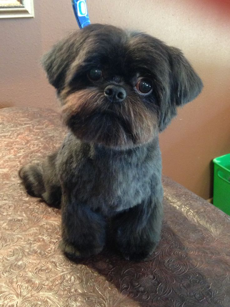 54 Best Images About Shih Tzu Grooming Hairstyles On