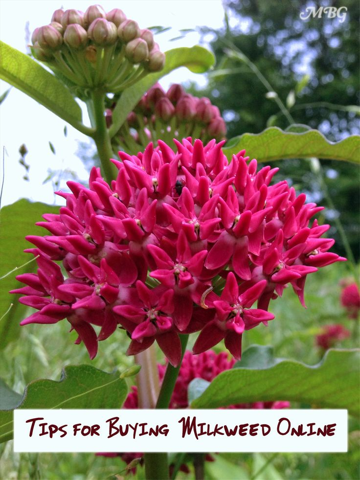 how to plant milkweed seeds outdoors