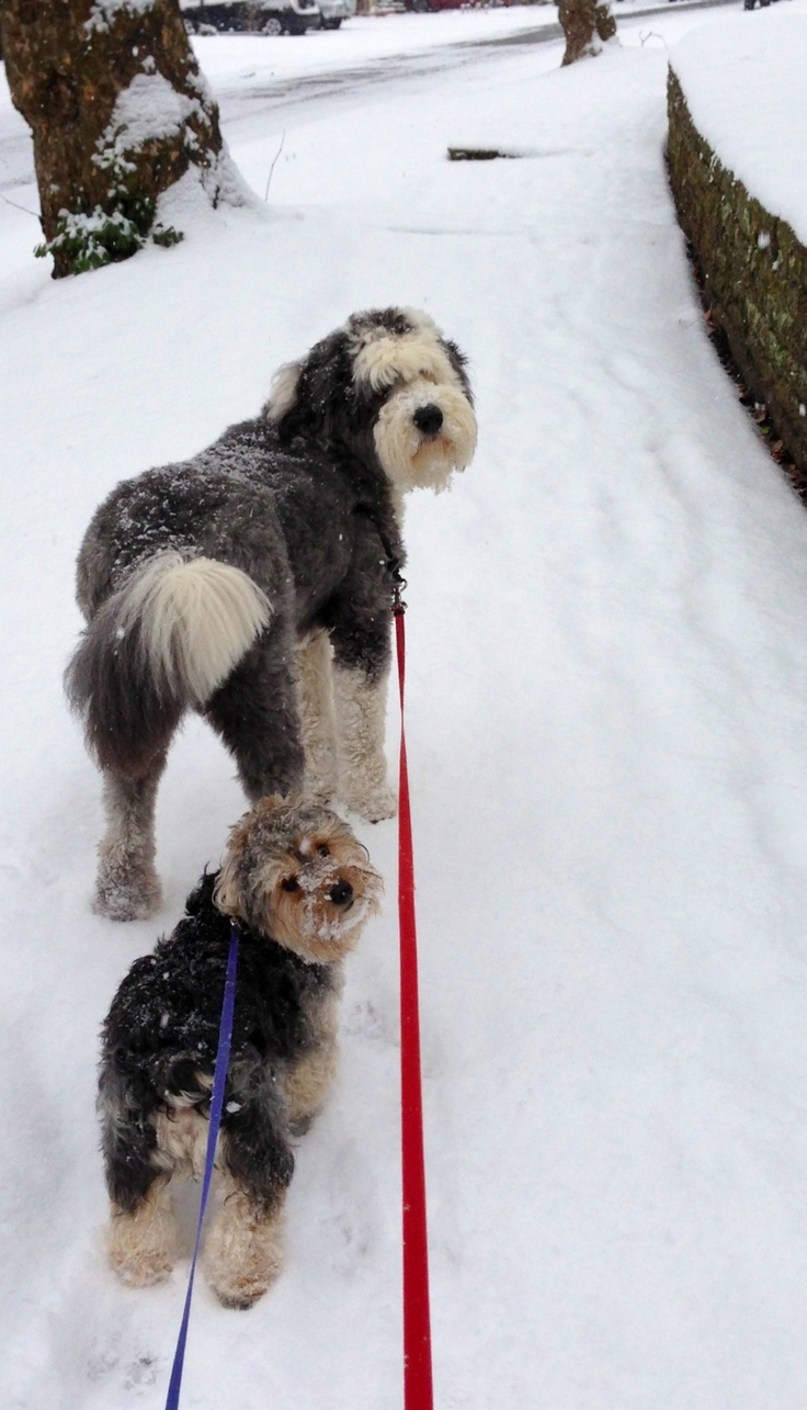 96 Best Old English Sheepdogs Images On Pinterest