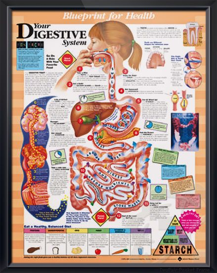 1000+ images about Anatomy & Physiology- Digestive System ...