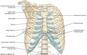 1000 images about Thorax Anatomy on Pinterest | Set of