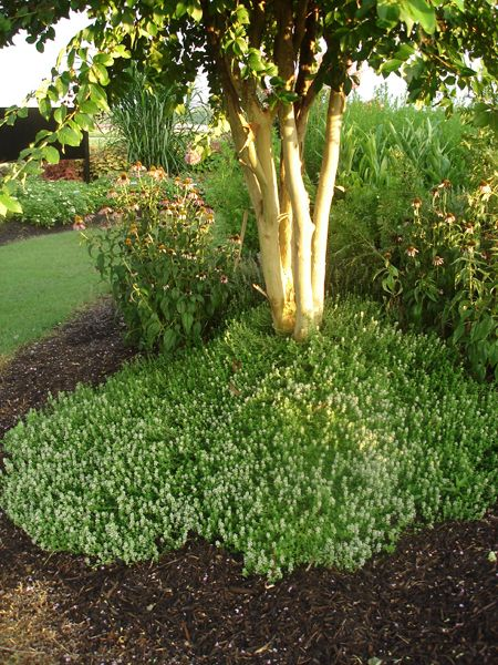 Thyme Used as Groundcover in Landsc
